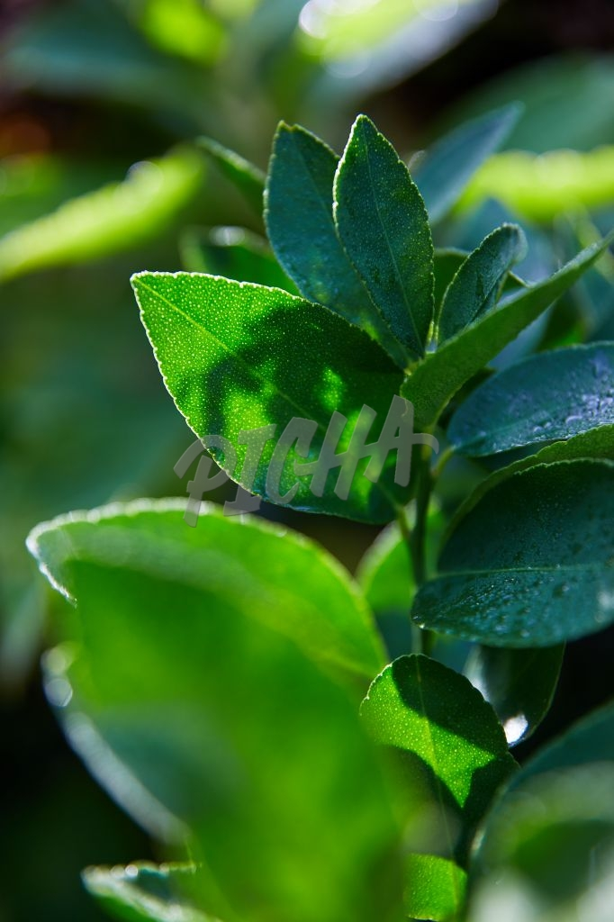 Morning dew on lime tree leaves