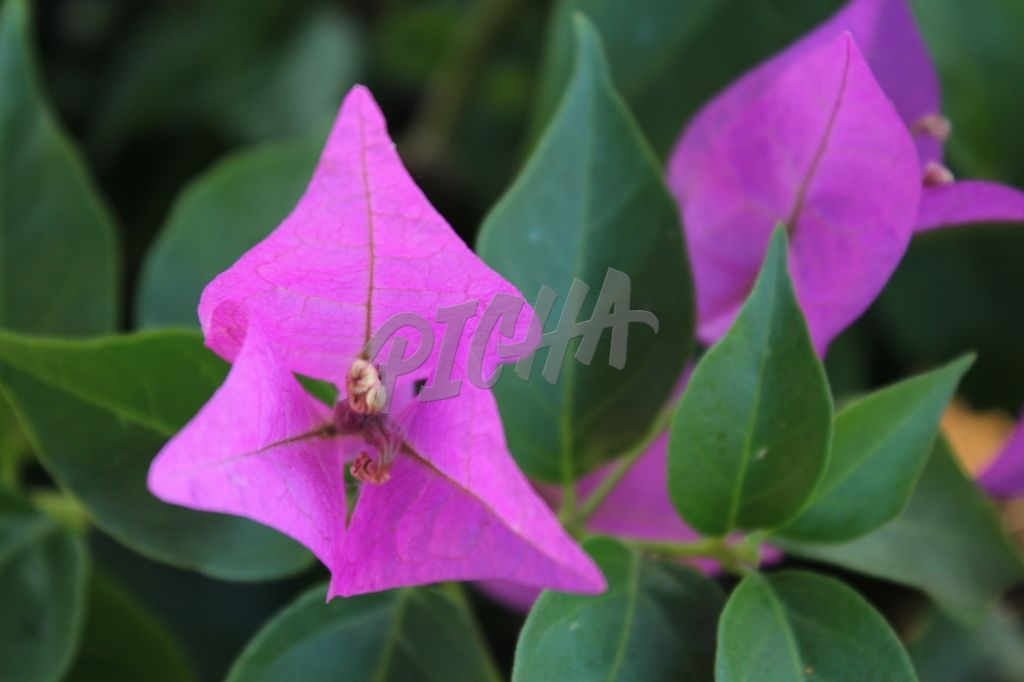 Purple Triangular Flowers