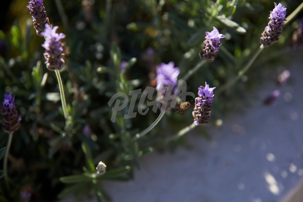 Bee landing on lavender plant