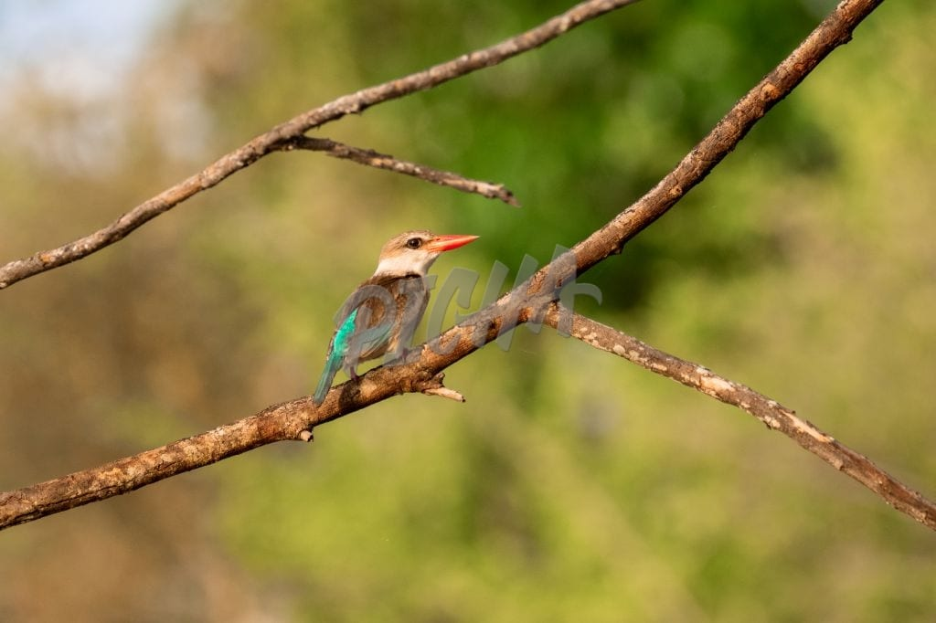 Kingfisher in Selous Game Reserve, Tanzania