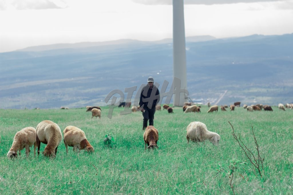 man looking after sheep in a grass land