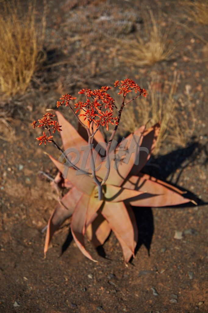 Aloe plant in a drought