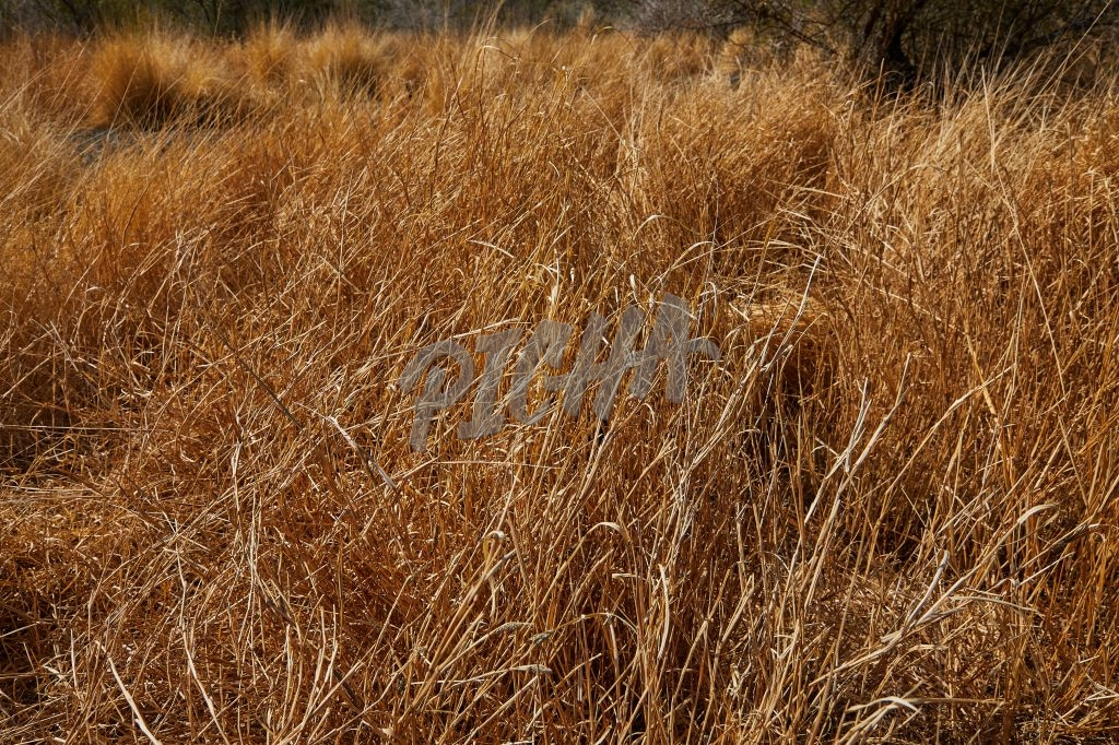 Dry grass in a drought