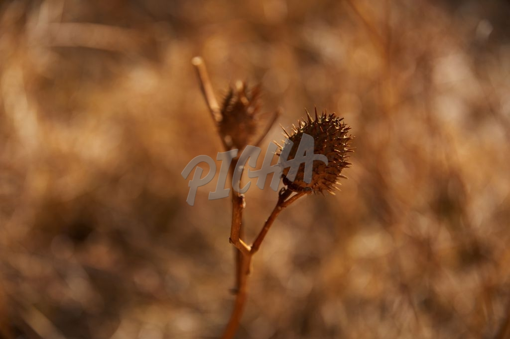 Spiky seed pods