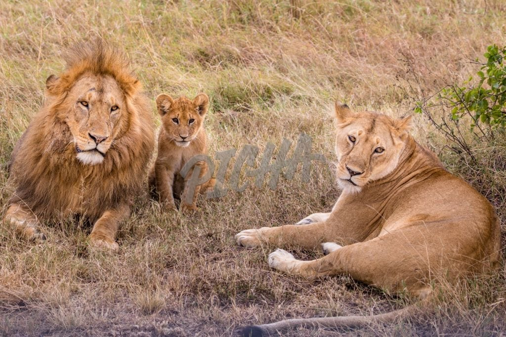 Lion, lioness and the cub