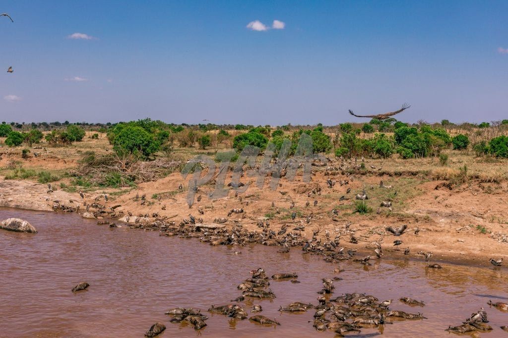 Wildebeest Carcasses  & Vultures