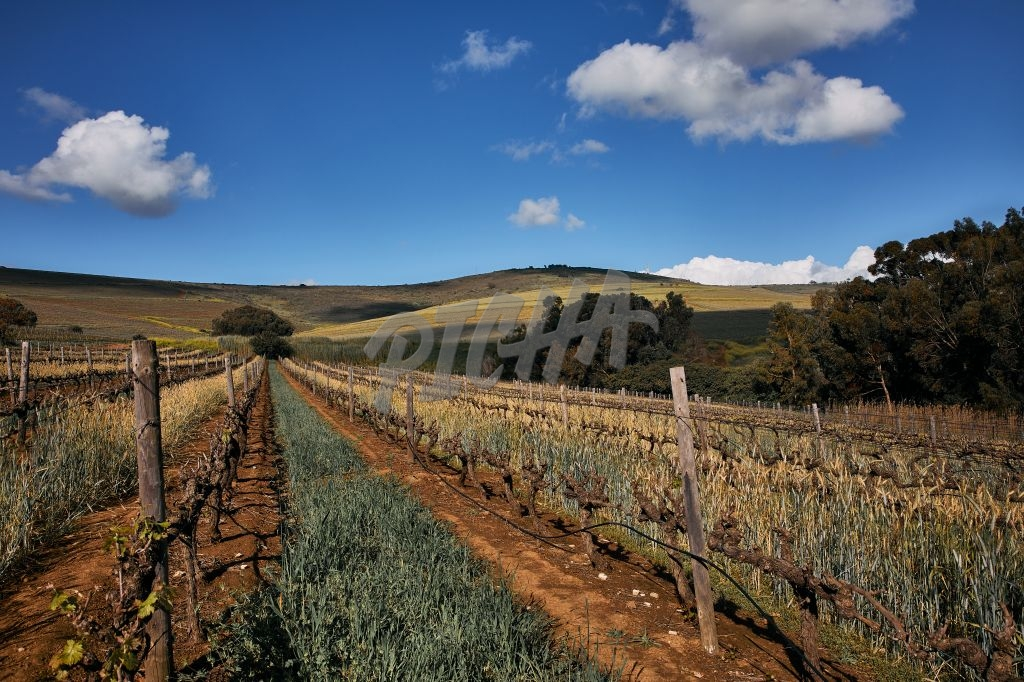 Landscape of a beautiful vineyard