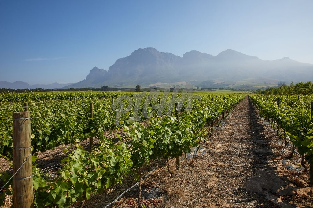 Rows of vines on a vineyard in Franschoek