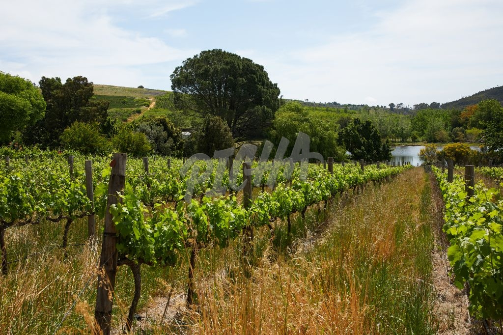 Rows of vines on a vineyard