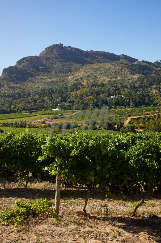 Views from the vineyard in the Cape