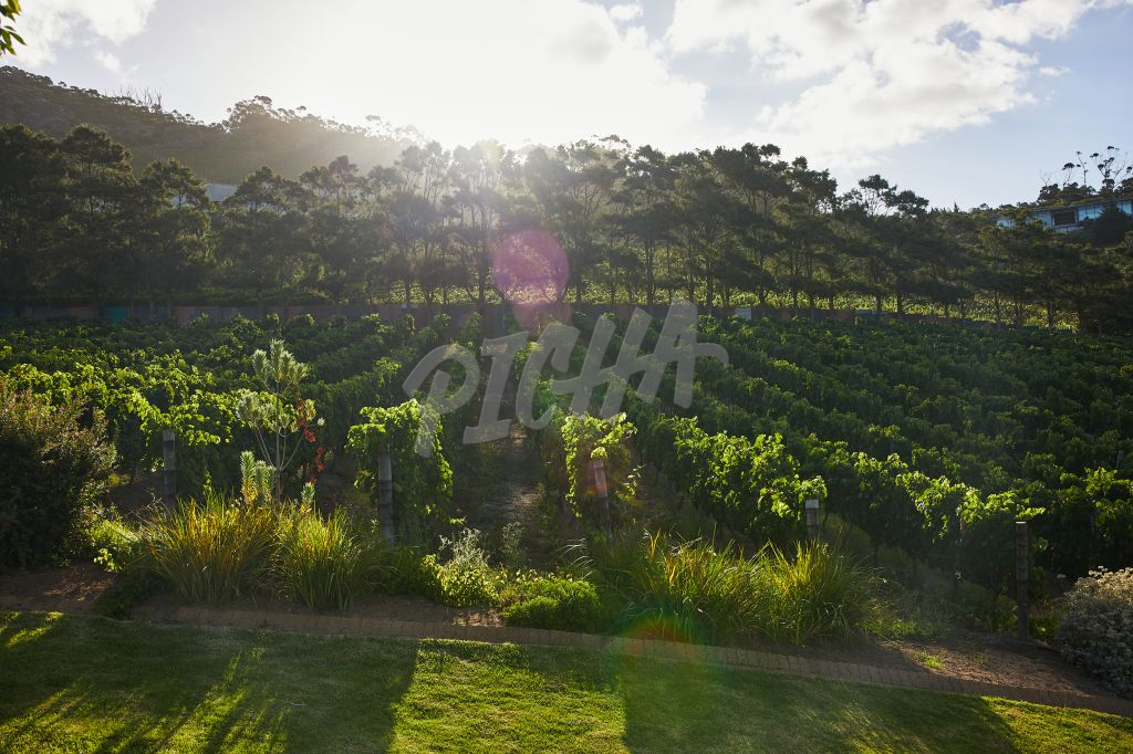 Views of the vineyard in the Cape at sunset