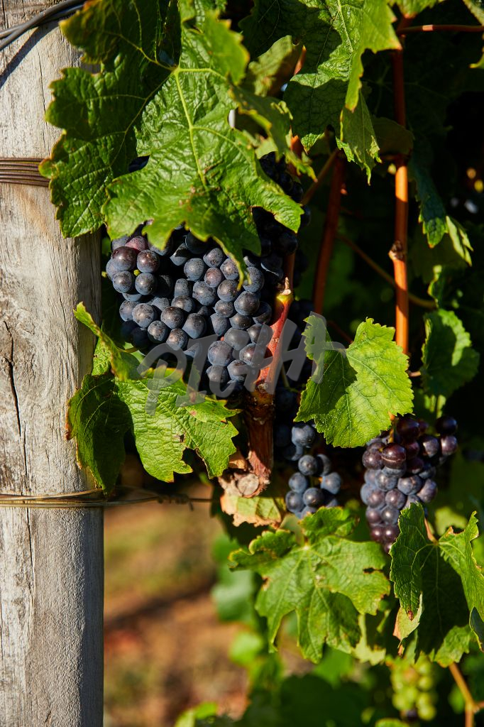 Harvest Season at a vineyard