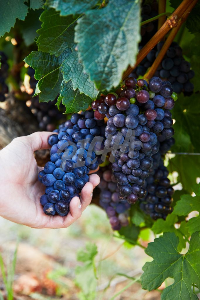 Hand holding a bunch of grapes during harvest season