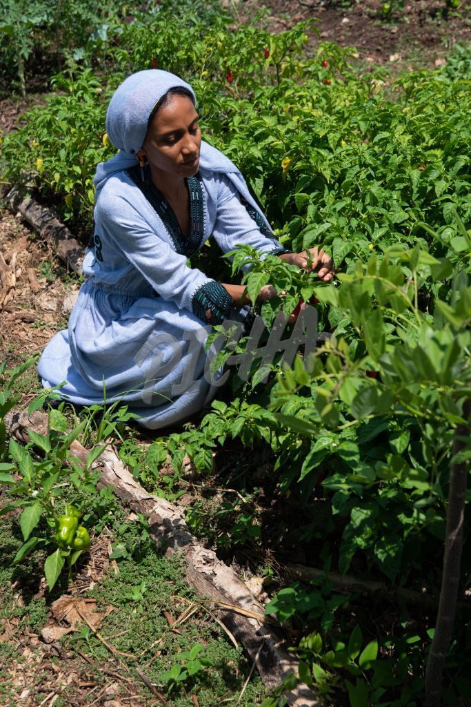 Woman picking chili peppers in the garden