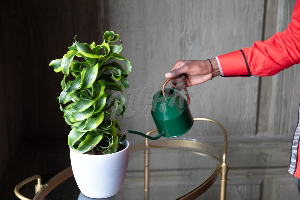 person watering a plant with a green watering can