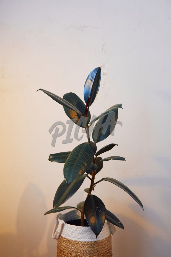 Rubber tree in a home setting