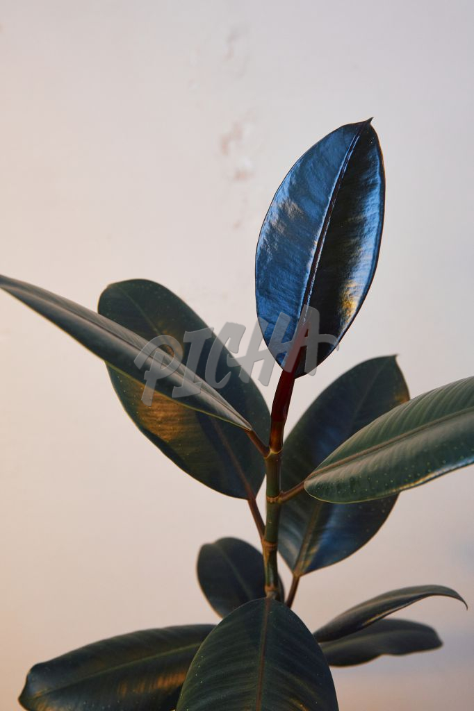 Close up of a rubber tree